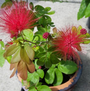 calliandra-emarginata-powder-puff-plant-habitus