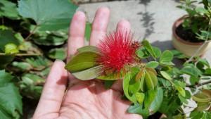 Calliandra-emarginata