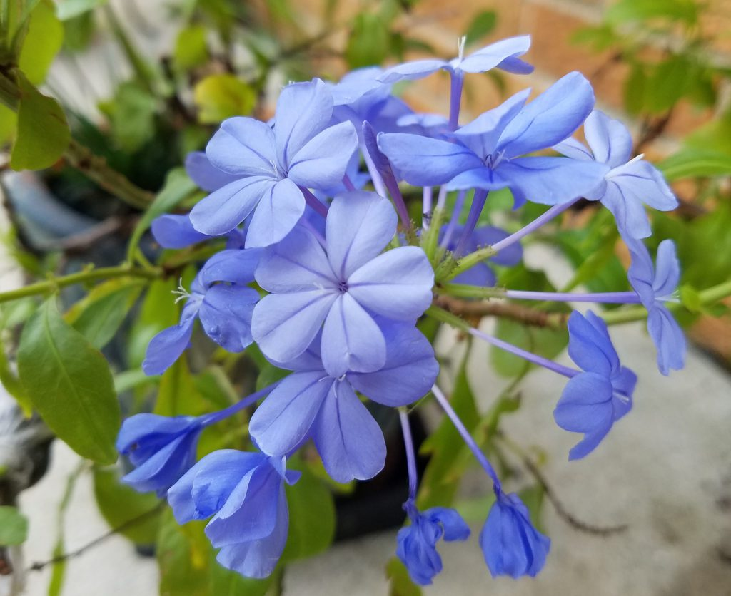 Plumbago flower close up