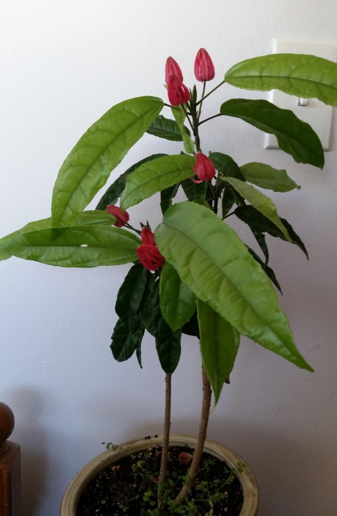 Pavonia multiflora habitus