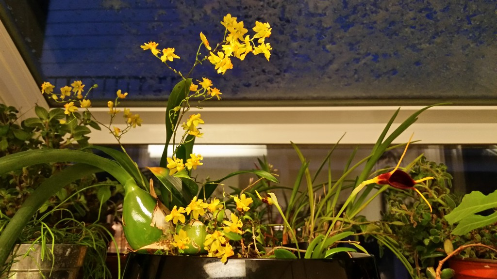 Garden window orchids