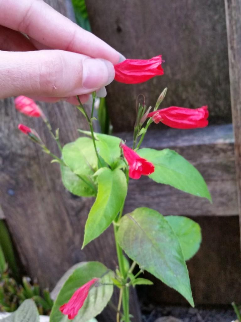 Ruellia brevifolia
