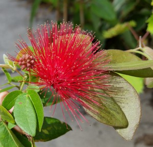 calliandra-emarginata-powder-puff-plant