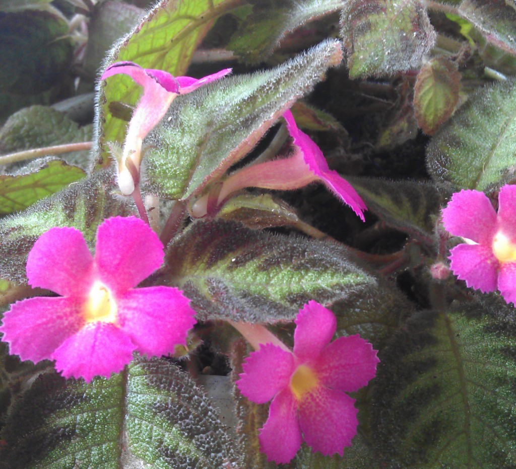 Episcia Pink Panther Everblooming Houseplants