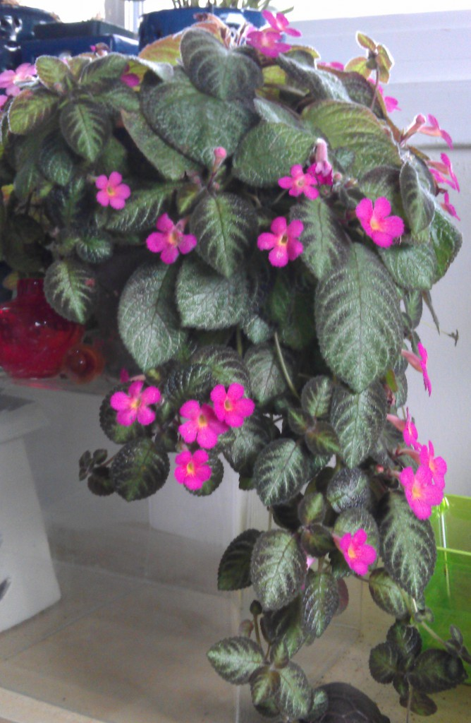 Episcia pink panther everblooming houseplants episcia pink panther mightylinksfo Image collections