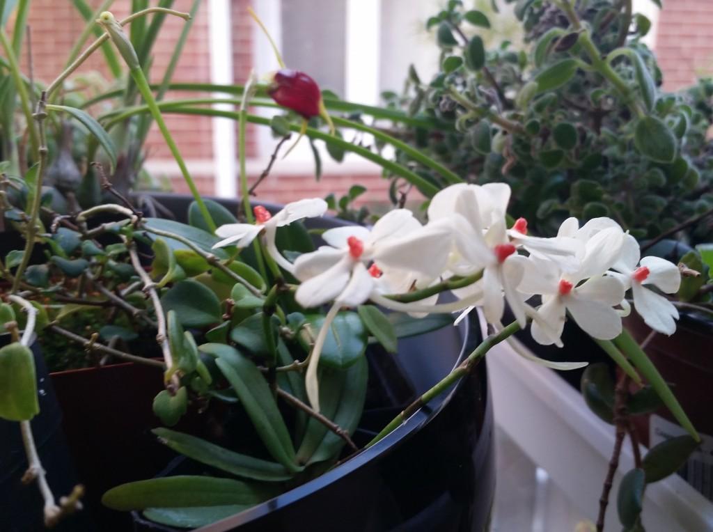 Aerangis_rhodosticta_garden_window