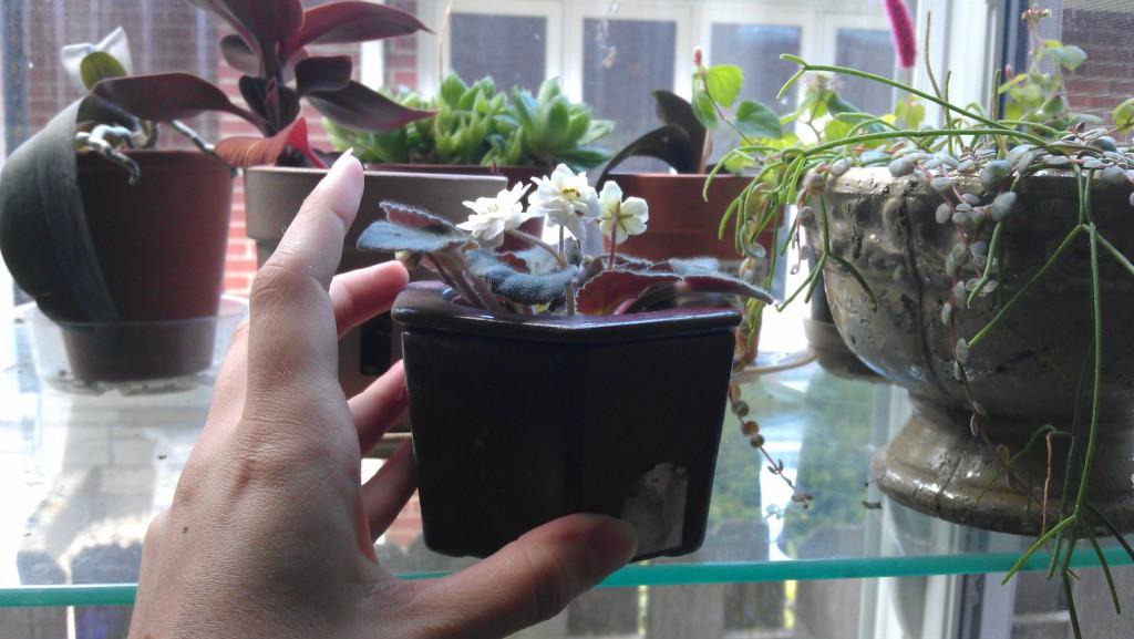 African_violet_garden_window