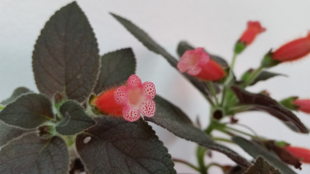 Kohleria tropical NIght