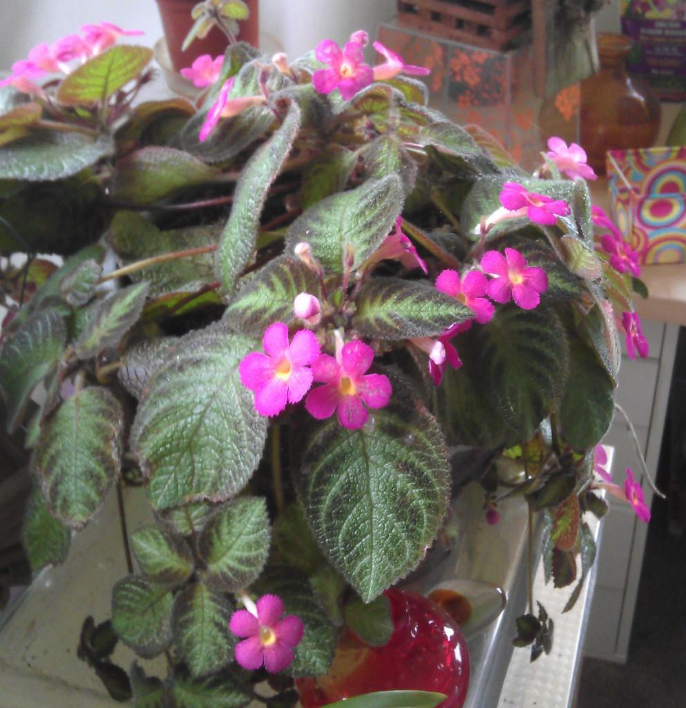 episcia pink panther