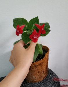 kohleria red ryder