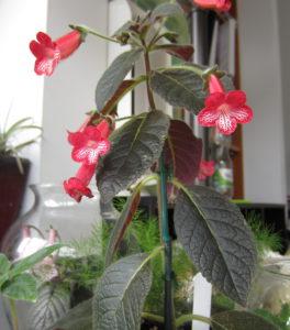 kohleria ruby