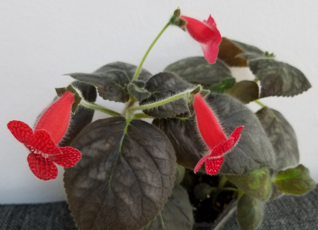Kohleria Strawberry fields